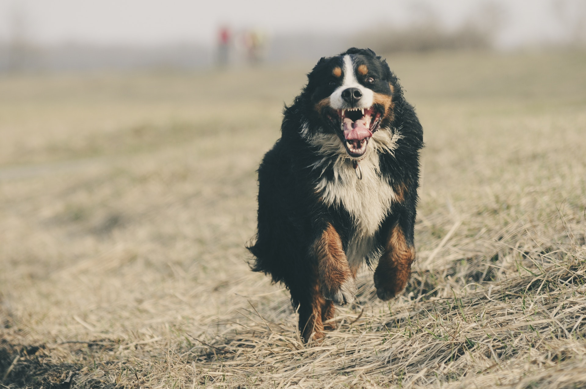 bernese dog running