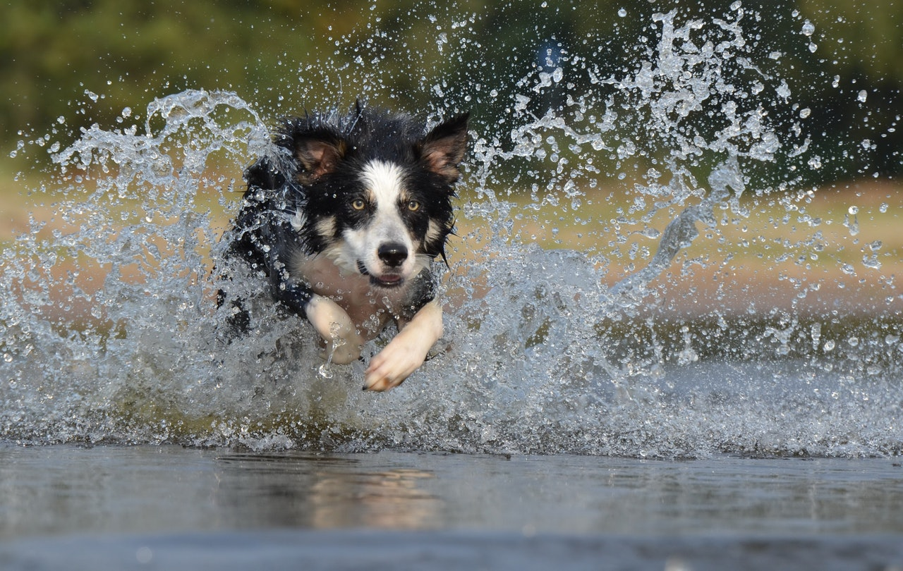 border collie water splash