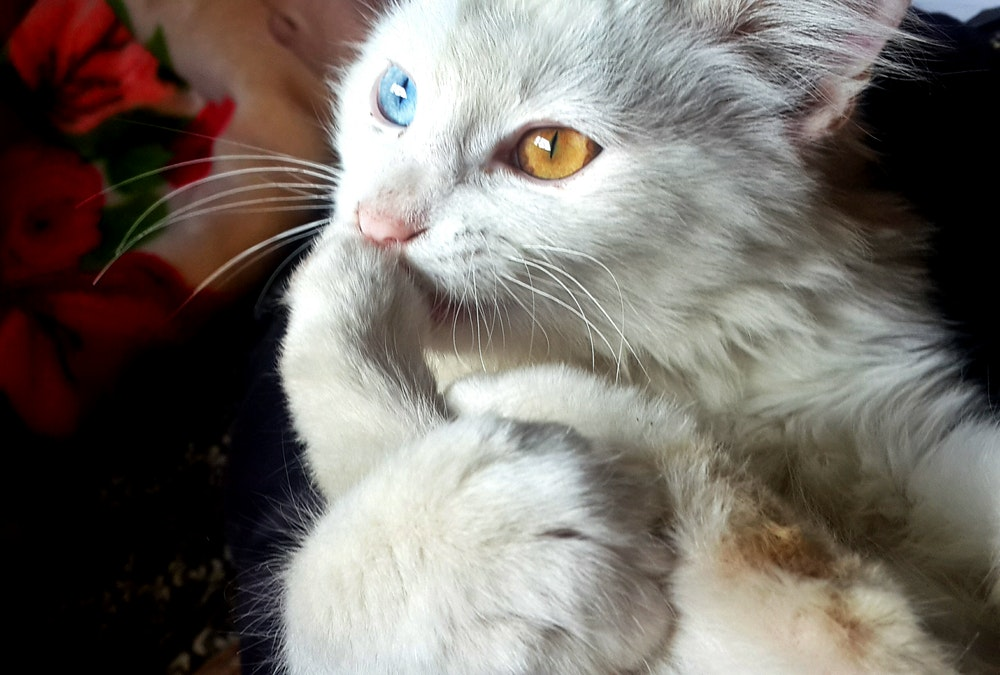 cat two different colored eyes