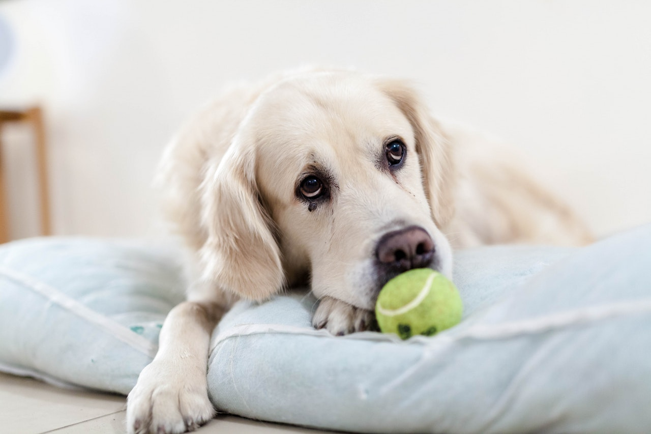 dog and tennis ball