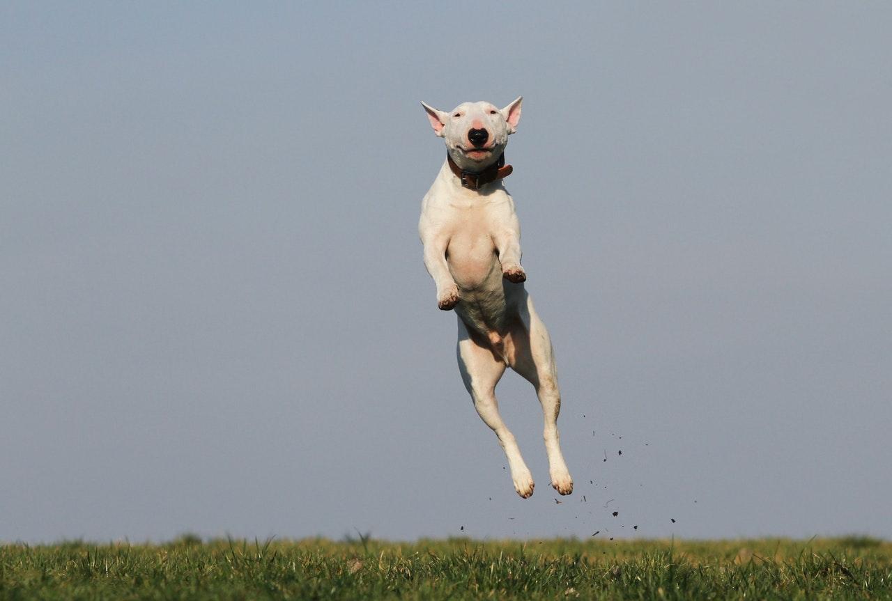dog jump joy