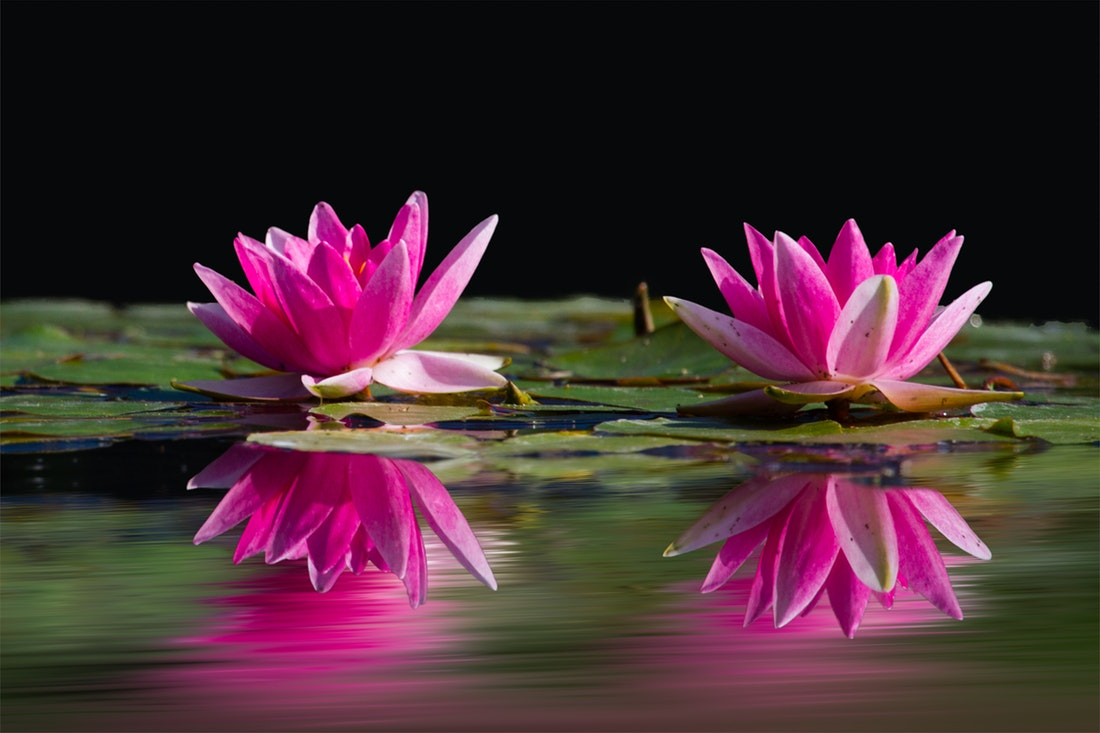 pink water lillies